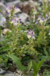 Photo 5/6 Scutellaria alpina L.