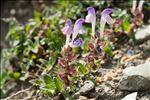 Photo 4/6 Scutellaria alpina L.