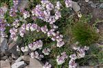 Photo 3/6 Scutellaria alpina L.