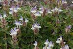 Photo 2/6 Scutellaria alpina L.