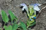 Photo 1/6 Scutellaria alpina L.