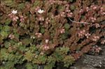 Photo 5/5 Sedum hirsutum All.