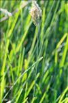 Sesleria caerulea (L.) Ard.