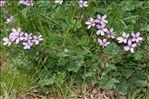 Erodium cicutarium (L.) L'Hér. subsp. cicutarium