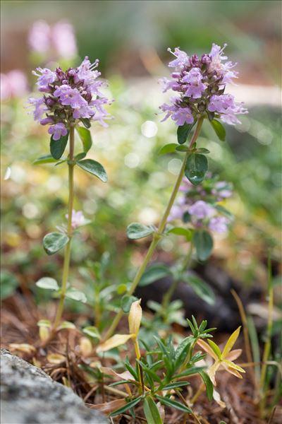 Thymus serpyllum L.