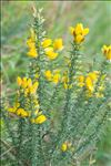 Ulex gallii Planch.