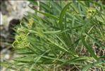Bupleurum angulosum var. alpinum (Lapeyr.) Larrival