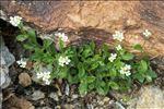 Arabis alpina L.