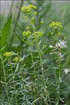 Photo 2/2 Euphorbia segetalis L.