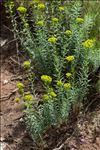 Photo 1/2 Euphorbia segetalis L.