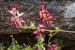Photo 8/11 Fumaria capreolata L.