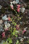 Photo 7/11 Fumaria capreolata L.
