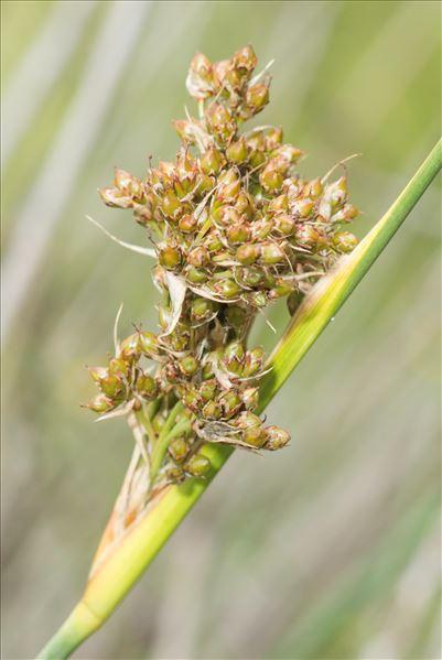 Juncus acutus L.