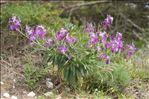 Matthiola incana (L.) R.Br. subsp. incana