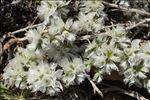 Photo 3/3 Paronychia capitata (L.) Lam.