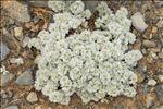 Photo 2/3 Paronychia capitata (L.) Lam.