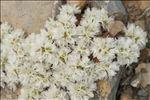 Paronychia capitata (L.) Lam.
