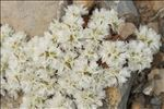 Photo 1/3 Paronychia capitata (L.) Lam.