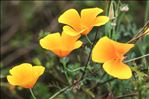 Photo 1/3 Eschscholzia californica Cham.