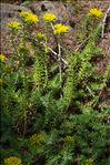 Sedum montanum Perrier & Songeon