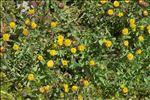 Photo 2/6 Trifolium badium Schreb.