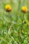 Trifolium badium Schreb.