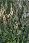 Photo 8/13 Asphodelus ramosus L.