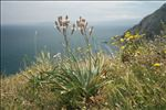 Asphodelus ramosus L. subsp. ramosus
