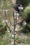 Photo 2/13 Asphodelus ramosus L.
