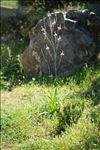 Photo 12/13 Asphodelus ramosus L.