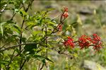 Photo 2/2 Sambucus racemosa L.