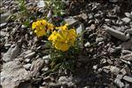 Erysimum ochroleucum (Schleich.) DC.