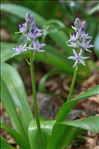 Photo 3/6 Tractema lilio-hyacinthus (L.) Speta
