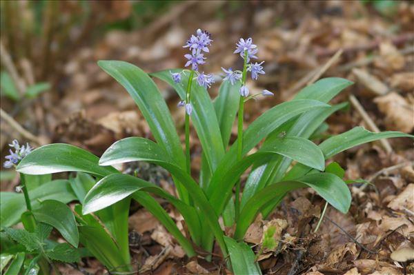 Tractema lilio-hyacinthus (L.) Speta