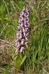 Himantoglossum robertianum (Loisel.) P.Delforge