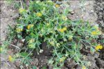 Anthyllis circinnata (L.) D.D.Sokoloff