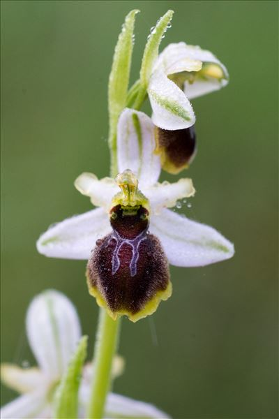Ophrys arachnitiformis Gren. & M.Philippe