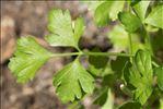 Petroselinum crispum (Mill.) Nyman ex A.W.Hill