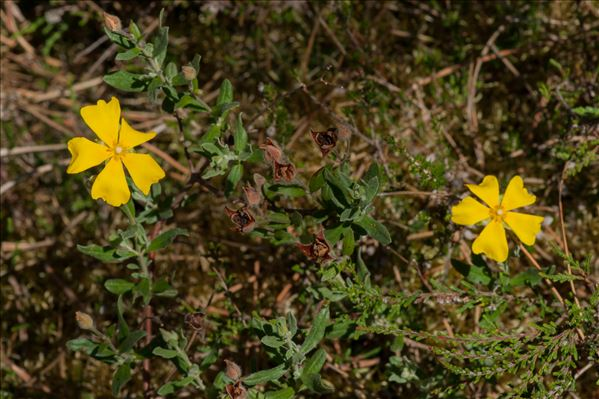 Cistus lasianthus subsp. alyssoides (Lam.) Demoly