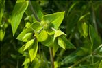 Photo 3/4 Euphorbia lathyris L.