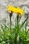 Scorzoneroides pyrenaica (Gouan) Holub