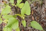 Photo 3/6 Xanthium orientale subsp. italicum (Moretti) Greuter