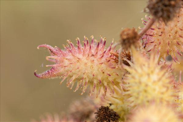Xanthium orientale subsp. italicum (Moretti) Greuter