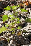 Photo 2/4 Xanthium orientale subsp. italicum (Moretti) Greuter