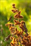 Photo 1/4 Xanthium orientale subsp. italicum (Moretti) Greuter