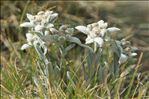 Leontopodium nivale (Ten.) Huet ex Hand.-Mazz.