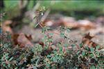 Photo 2/3 Euphorbia maculata L.