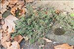 Photo 1/3 Euphorbia maculata L.