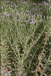 Photo 2/2 Galatella sedifolia subsp. rigida (DC.) Greuter