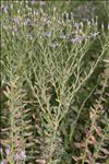 Photo 1/2 Galatella sedifolia subsp. rigida (DC.) Greuter